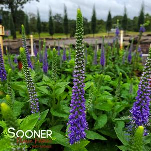 Veronica x 'SUNNY BORDER BLUE SPEEDWELL'