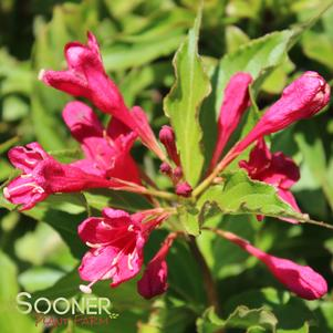 Weigela florida 'RED PRINCE WEIGELA'