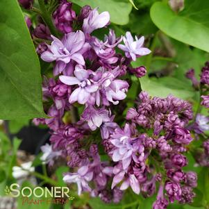 Syringa x hycinthiflora 'ROYAL PURPLE LILAC'