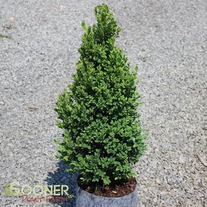 Buxus x 'GREEN MOUNTAIN BOXWOOD'