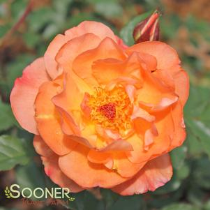 Rosa species 'WESTERLAND CLIMBING ROSE'