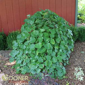 Cercis texensis 'TRAVELLER WEEPING REDBUD'