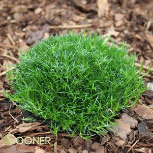 Sagina subulata 'IRISH MOSS'