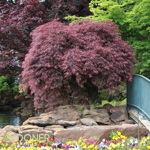 Acer palmatum dissectum 'CRIMSON QUEEN WEEPING JAPANESE MAPLE'