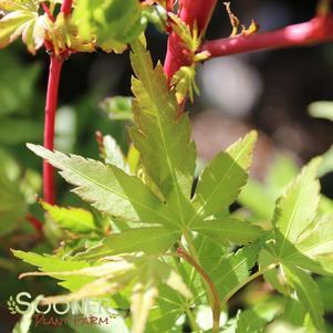 Acer palmatum matsumurae 'CORAL BARK UPRIGHT JAPANESE MAPLE'
