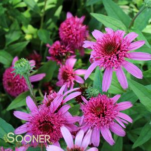 Echinacea purpurea 'PINK DOUBLE DELIGHT CONEFLOWER'