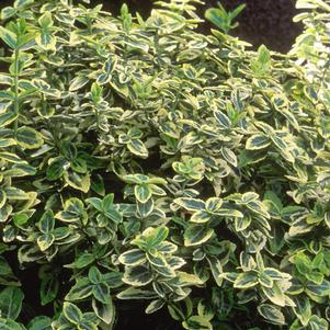Euonymus fortunei 'EMERALD 'N GOLD EUONYMUS'