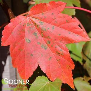Acer rubrum 'OCTOBER GLORY® MAPLE'
