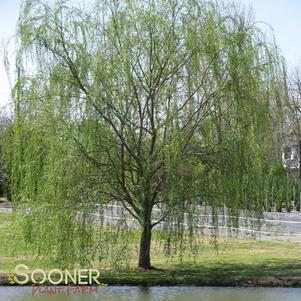 Salix x blanda 'WISCONSIN WEEPING WILLOW'