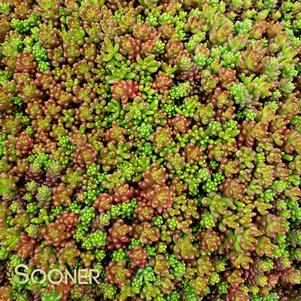 Sedum album 'ORANGE ICE SEDUM'
