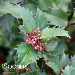 Ilex x meserveae 'BLUE PRINCE HOLLY'