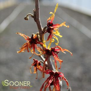 Hamamelis x intermedia 'DIANE WITCH HAZEL'
