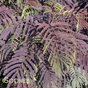 Albizia julibrissin 'SUMMER CHOCOLATE MIMOSA'
