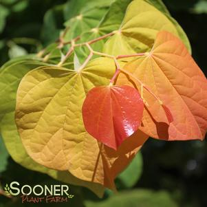 Cercis canadensis 'THE RISING SUN™ REDBUD'