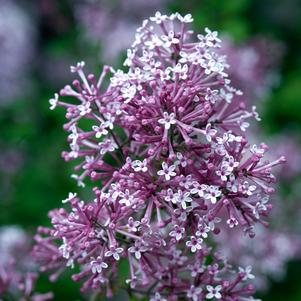 Syringa x 'BLOOMERANG® PURPLE LILAC'