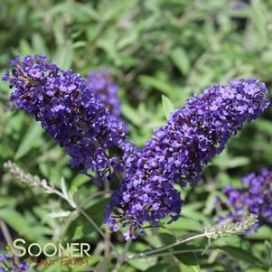 Buddleia davidii 'ADONIS BLUE™ BUTTERFLY BUSH'