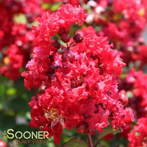 Lagerstroemia indica 'RED ROCKET® CRAPEMYRTLE'