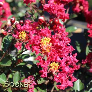Lagerstroemia indica 'TIGHTWAD® CRAPEMYRTLE'