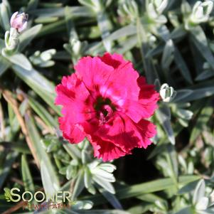 Dianthus x 'RED BEAUTY DIANTHUS'