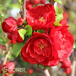 Chaenomeles speciosa 'DOUBLE TAKE SCARLET™ STORM QUINCE'