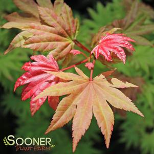 Acer shirasawanum 'AUTUMN MOON UPRIGHT JAPANESE MAPLE'