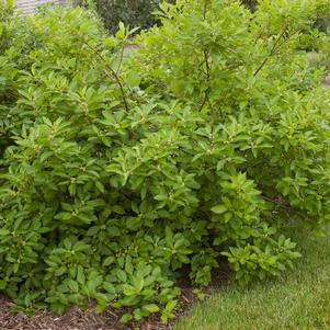 Ilex verticillata 'SOUTHERN GENTLEMAN WINTERBERRY HOLLY'