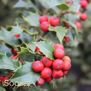 Ilex x 'RED BEAUTY HOLLY'