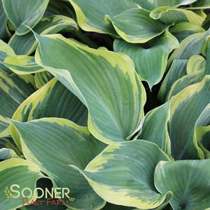 Hosta x 'EARTH ANGEL HOSTA'