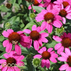 Echinacea x 'AMAZING DREAM CONEFLOWER'
