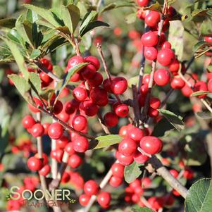 Ilex verticillata 'RED SPRITE WINTERBERRY HOLLY'
