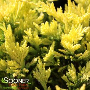 Juniperus horizontalis 'GOOD VIBRATIONS™ GOLD JUNIPER'