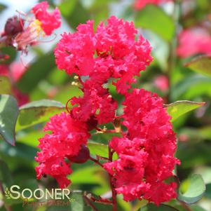 Lagerstroemia x 'PRINCESS ZOEY™ CRAPEMYRTLE'