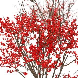 Ilex verticillata 'BERRY POPPINS® WINTERBERRY HOLLY'