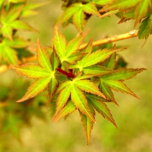 Acer palmatum 'BIHOU UPRIGHT JAPANESE MAPLE'