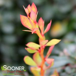 Berberis thunbergii 'DAYBREAK® BARBERRY'