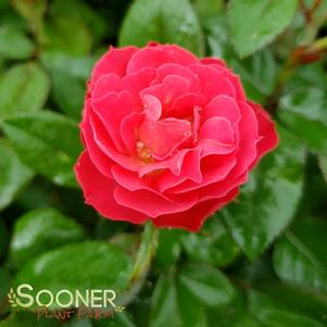 Rosa x 'OSO EASY DOUBLE RED® ROSE'
