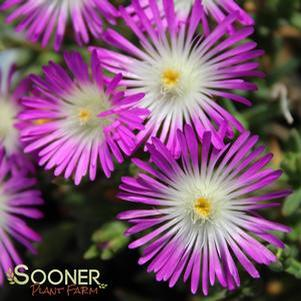 Delosperma cooperi 'WHEELS OF WONDER™ VIOLET WONDER ICE PLANT'