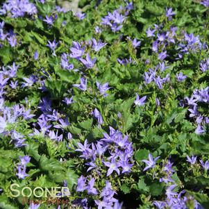 Campanula persicifolia 'BLUE WATERFALL BELLFLOWER'