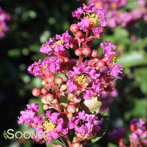 Lagerstroemia x 'PURPLE COW™ CRAPEMYRTLE'
