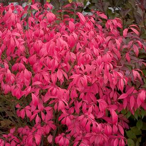 Euonymus alatus 'UNFORGETTABLE FIRE® DWARF BURNING BUSH'