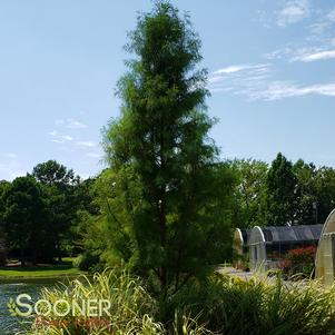Taxodium ascendens 'DEBONAIR™ POND CYPRESS'
