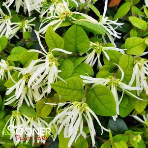 Loropetalum chinensis 'JAZZ HANDS™ DWARF WHITE LOROPETALUM'