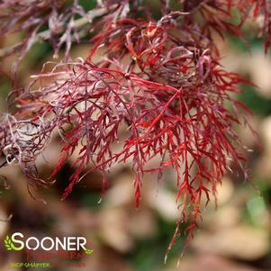 Acer palmatum dissectum 'RED FILIGREE LACE WEEPING JAPANESE MAPLE'