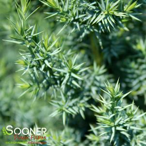 Juniperus x 'STAR POWER™ JUNIPER'
