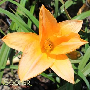 Hemerocallis x 'SOMBRERO WAY DAYLILY'