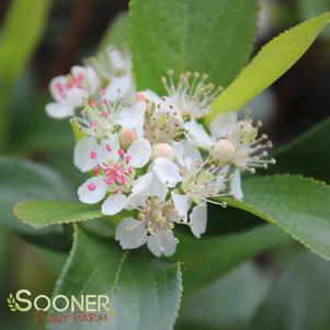 Aronia melanocarpa 'LOW SCAPE® HEDGER CHOKEBERRY'
