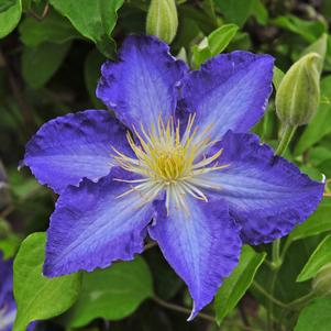Clematis 'BROTHER STEFAN® CLEMATIS'
