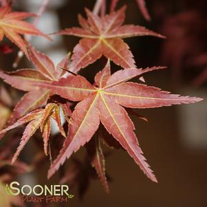 Acer palmatum 'BONFIRE UPRIGHT JAPANESE MAPLE'
