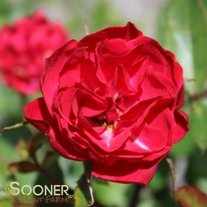 Rosa x 'EASY ELEGANCE® MYSTIC FAIRY® SHRUB ROSE'