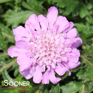 Scabiosa columbaria 'PINK MIST PINCUSHION FLOWER'